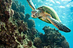 Bodrum Caretta caretta turtles