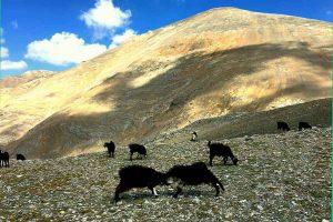 Bolkar Mountains and goats